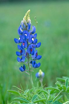 Texas Bluebonnet.