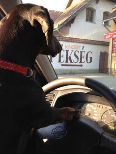 Dacshund driving