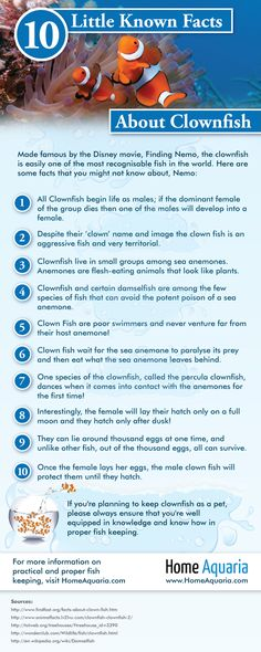 Did you know, despite the 'clown' in their name Clown fish are aggressive and can be territorial!   Check out this #infographic here for more #Clownfish #Facts here: http://homeaquaria.com/infographic-clownfish-facts/