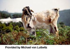 Canary Island goat