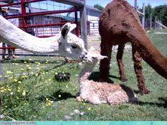 Alpaca kiss.
