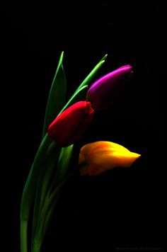 first tulips of 2007 by photonig