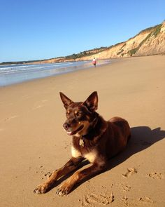 Milo on holidays after a busy #summer holiday workload as guest entertainment officer. #beach #beachlife #reddog #australian #kelpie #greatoceanroad #victoria by bendigopwpics