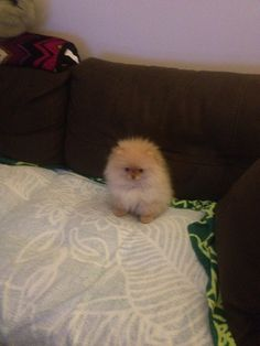 This ball of fur is a little pom!