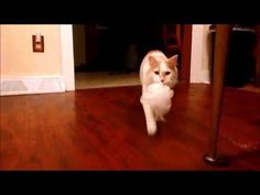 Watch this cat play fetch just like a dog. Hilarious!