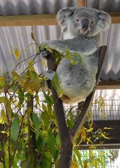Koala at the Cairns Zoo, Cairns, Australia
