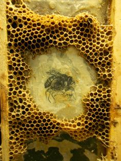 THE GREAT WALL OF BEES INTELLIGENCE OF THE HIVE The etchings you see here, encrusted with beeswax, are made in the time-honored way - much as Rembrandt r