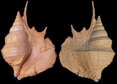 Maussenetia staadti Cossmann, 1904, N20, Thanetian, Paleocene; Paris Basin, France; 111 mm; Coll. Laurent Belliard, N20