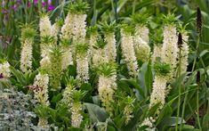 Ananaslilie 3 Sorten Schopflilie 20 frische Samen Eucomis Hybride MIX