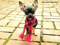 Tea Cup Chihuahua.