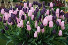 Pink and purple tulips.  So pretty!