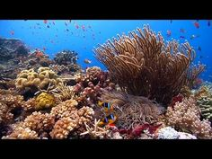 """""""Reefscapes: Nature's Aquarium"""" ambient DVD ~ relaxing music, natural coral reefs & ocean nature HD - YouTube"""