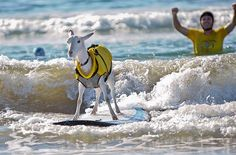Goatee the surfing goat isn't the first animal to hop on a surfboard, but it is the latest to receive media attention. Two-year-old Goatee, the pet of Dana McGregor, became a local celebrity in Grover Beach, California.