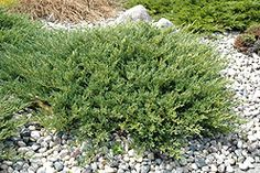 Andorra Juniper  An incredibly beautiful groundcover evergreen for general landscape use, featuring blue-green foliage which takes on a purplish tinge in winter, attractively arching low branching habit, wide spreading; extremely adaptable and hardy; a fine groundcover  Height: 11 inches  Spread: 6 feet  This shrub does best in full sun to partial shade