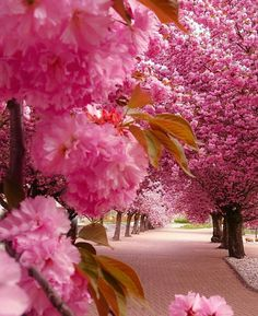 Gorgeous pink trees in bloom, apple blossom? Beautiful World, Beautiful Places, Beautiful Pictures, Wonderful Places, Beautiful Roads, It's Wonderful, Amazing Places, Flowering Trees, Blooming Trees