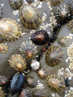 The shape of the limpet varies. The closer the limpet is to the water, the flatter and smaller its shell. Sea Snail, Shell Beach, Am Meer, Shell Art, Shell Crafts, Patterns In Nature, Ocean Life, Marine Life, Sea Creatures