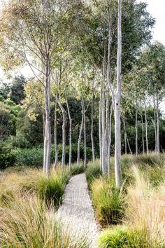 PATH MEANDERING THROUGH GROVE OF WHITE TRUNKS AND GRASSES [Alison Hoelzer Photography - Gardens]
