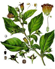 Atropa belladonna - Köhler–s Medizinal-Pflanzen-018 - Atropina –