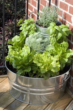"A Salad Garden on the porch, tiered lettuce and herbs in stacked galvanized pails - romaine and curly leaf lettuce, basil, lavender, and Artemesia ""Satiny"" Wormwood"