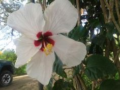 The flora in Central America in general,White hibiscus Granada Nicaragua – Best Places In The World To Retire – International Living and in Granada, Nicaragua specifically is a lot like Hawaii. - See more at: http://bestplacesintheworldtoretire.com/questions-and-answers/2320-can-i-see-beautiful-flowers-plants-and-trees-in-or-around-granada-nicaragua#sthash.Ti8o9fzP.dpuf