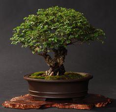 http://www.gsbf-bonsai.org/sjbonsai/SJBonsai/MainMenue/Galle_holder/13GALLE/21L.jpg