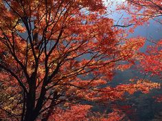 fall trees - Google Search