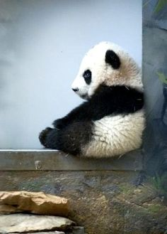 such a great, and of course adorable, photo of a baby panda sitting. doesn't it make you want one?!?