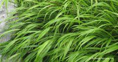 Hakonechloa macra (Hakone Grass) - Hoffman Nursery