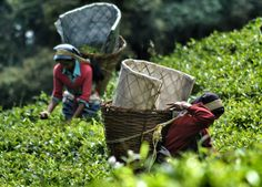 Local Himalayan Tea Pickers, plucking Assam Tea Leaves in the Temi Tea Gardens of Sikkim in the Indian Himalayans. For full blog on Eating in the Himalayas and Himalayan Food from Sikkim, Tibet and Nepal check our blog http://live-less-ordinary.com/southeast-asia-food/himalayan-food-eating-himalayas