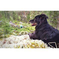 Yks vielä metästä. GrandMastaMusti. Meidän kohta 14v poika. Metsien kuningas ja melkoinen rohvessoori. #fb #musti #pooch #mutt