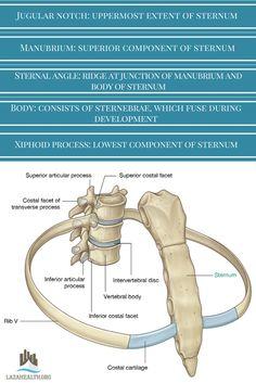 sternum and joints between ribs and vertebrae Human Skeleton Anatomy, Human Body Anatomy, Human Anatomy And Physiology, Muscle Anatomy, Anatomy Bones, Yoga Anatomy, Anatomy Study, Radiology Student, Medical Anatomy