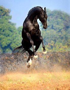 Black horse jumping in the air Black Horses, Wild Horses, Horse Photos, Horse Pictures, Most Beautiful Animals, Beautiful Horses, Akhal Teke Horses, Friesian, Majestic Horse