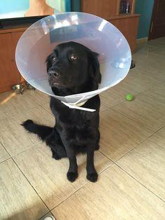 #Tom #Cat #Freya #Dog #Puppy # #LoveAnimals #CanaryIsland #GoldenRetriever #BlackGolden #BlackDog #MyMonster #Puppy #Pet #GoToTheVet #FreyaIsOk #Vet #FreyaLoveVet