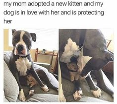 All of my pitties have been kind and loving to other animals, especially the small and helpless....