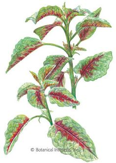 Amaranth Edible Red Leaf HEIRLOOM Seeds... quite interested in trying I'm thinking next year I will