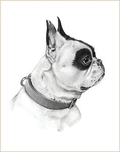 Michele Amatrula Pet Portraits − Pencil portrait of Buxton