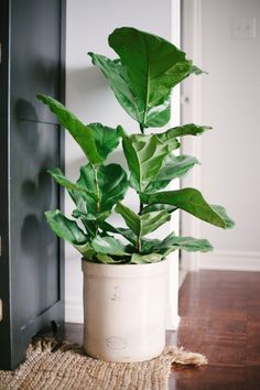 Fiddle Leaf Fern Lovers -- Read on... on SMP: http://www.StyeMePretty.com/living/2016/05/15/keeping-that-fiddle-leaf-fig-green-and-happy/?utm_content=buffered961&utm_medium=social&utm_source=pinterest.com&utm_campaign=buffer Photography : Heidi Lau Read