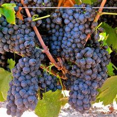 Pinotage, Mettler Family Vineyards, Lodi AVA. Photography by Randy Caparoso.