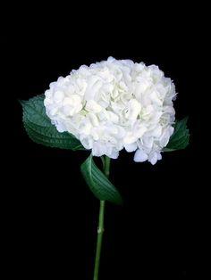 Hortensia Blanca (10 tallos) $150  Estos Precios están sujetos a cambios y disponibilidad del Producto.