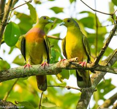 Orange-breasted Green Pigeon (Treron bicinctus) in Bangladesh by Anjaleen Haider Moury. The male is on the left side. Green Pigeon, Tropical Birds, Beautiful Birds, Cute Animals, Creatures, Planet Earth, Orange, Life, Nest Box