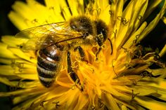 Save Our Bees.Before It'S Too Late. The continuing decline in bees will destroy the British countryside as important iconic plants die without pollination, e. Insect Box, Uk Bees, Amazon Animals, Wild Bluebell, Million Flowers, Wild Bees, Lip Balm Labels, Bee Do, Dandelion Flower