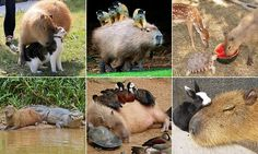 The capybara, native to South America, is the largest rodent in the world and a highly social creature which has been observed bonding with everything from kittens and ducklings to monkeys. Badass Pictures, Cute Pictures, Gifs, Capybara, Animals Of The World, Animal Rescue Shelters, All Dogs