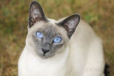 Blue Point Siamese Cat Sitting on Grass Photographic Print - AllPosters.co.uk