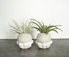 Plant Robbers Air plants Tillandsia