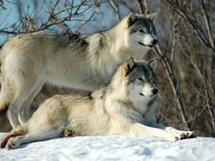 Wolfs in the snow