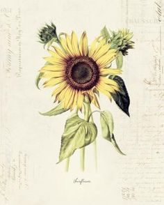 "Vintage Botanical Flower ""Sunflower"" on French Ephemera Print 8x10 P170. $14.00, via Etsy. by jolene"