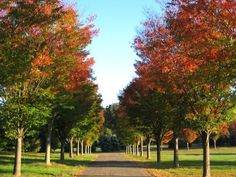 Lipstick Maple Drive.  Can be achieved with October Glory, Autumn Blaze, or Fairview Flame.  Available from Blerick Tree Farm. www.dialatree.com.au
