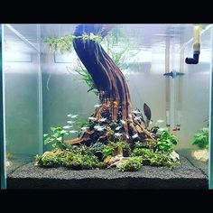 1,915 Likes, 34 Comments - TheDriftWoodGuy (@bonsaidriftwood) on Instagram #AquariumTanksIdeas