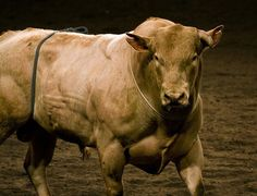 Bodacious... The World's Most Dangerous Rodeo Bull.. This Bull had his own AGENT!!!!!