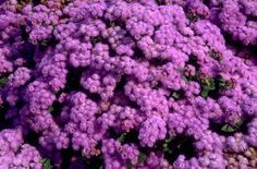 Find help & information on Ageratum houstonianum 'Blue Danube' Mexican paintbrush 'Blue Danube' from the RHS Summer Bedding Plants, Hardy Plants, Paint Brushes, Seasons, Garden Ideas, Mexican, Blue, Gardening, Seasons Of The Year